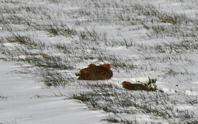 Patrijzen in de sneeuw